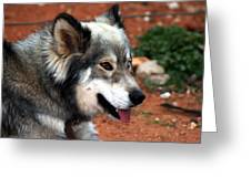 Miley The Husky With Blue And Brown Eyes Greeting Card by Doc Braham