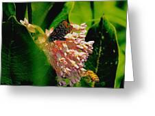 Milking Milkweed Greeting Card
