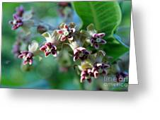 Milkweed Bloom Greeting Card