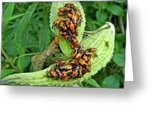 Milkweed Bug Nymphs - Oncopeltus Fasciatus Greeting Card