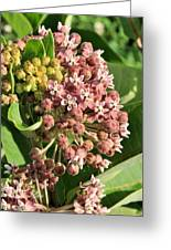 Milkweed Flowers In Bud Greeting Card