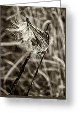 Milkweed Pod Sepia Greeting Card
