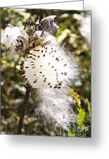 Milkweed Seeds 3 Greeting Card