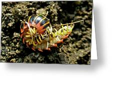 Millipede Polydesmida - Sigmoria Aberrans Greeting Card