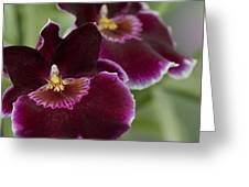 Miltoniopsis Rouge 'california Plum'  Macro  2692 Greeting Card