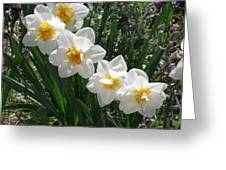 Miner's Wife Daffodils Greeting Card
