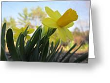 Mini Daffodils Greeting Card