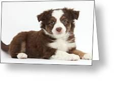 Miniature American Shepherd Puppies Greeting Card