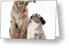 Miniature American Shepherd With Puppy Greeting Card