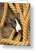 Miniature Bull Terrier Puppy Greeting Card