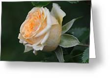 Miniature Rose In The Rain Greeting Card