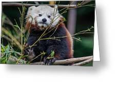 Mohu The Teenage Red Panda Greeting Card