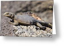 Mojave Desert Chuckwalla Greeting Card