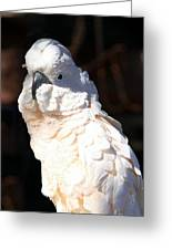 Moluccan Cockatoo In The Spotlight Greeting Card