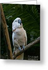 Moluccan Cockatoo Greeting Card