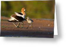 Mom And Baby Avocet Greeting Card