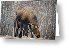 Mom And Young Moose Greeting Card
