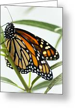 Monarch Beauty Greeting Card