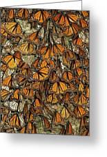 Monarch Butterflies Wintering Greeting Card