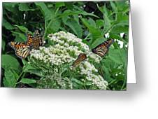 Monarch Butterfly 47 Greeting Card