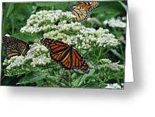 Monarch Butterfly 54 Greeting Card