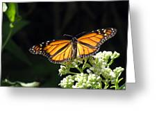 Monarch Butterfly 61 Greeting Card