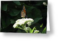 Monarch Butterfly 71 Greeting Card