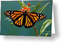 Monarch Butterfly Danaus Plexippus Greeting Card
