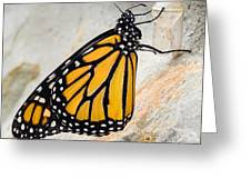 Monarch Butterfly Just Emerged From Her Chrysalis Greeting Card