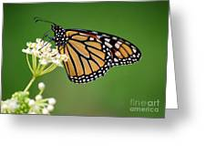 Monarch Butterfly On White Milkweed Flower Greeting Card