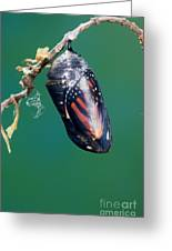 Monarch Butterfly Ready To Emerge Greeting Card