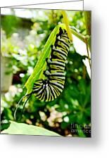Monarch Caterpillar 5 Greeting Card
