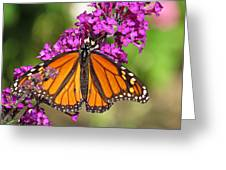 Monarch Hangs On To Buddleia Greeting Card