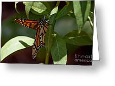 Monarch In The Shade Greeting Card