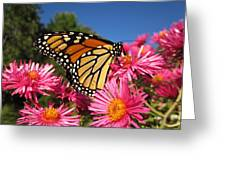 Monarch On Pink Asters Greeting Card