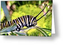 Monarch's Caterpillar.nz Greeting Card