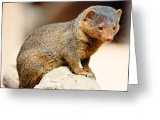 Mongoose Greeting Card