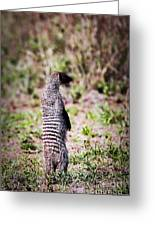 Mongoose Standing. Safari In Serengeti Greeting Card