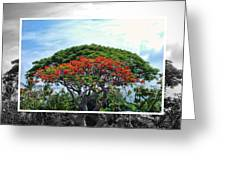 Monkey Pod Trees - Kona Hawaii Greeting Card
