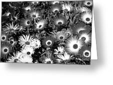 Monochrome Asters Greeting Card