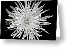 Monochrome Spider Chrysanthemum  Greeting Card