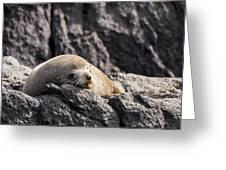 Montague Island Seal Greeting Card