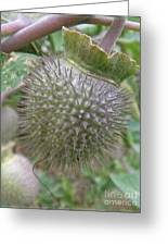 Moon Flower Seed Pod Greeting Card
