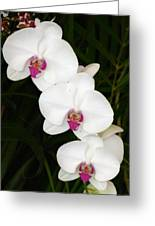 Moon Orchid With Purple Center Greeting Card
