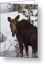 Moose   #1612 Greeting Card