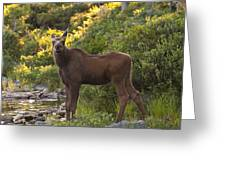 Moose Baby Sniffing Morning Air Greeting Card