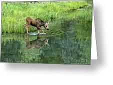 Moose Calf Testing The Water Greeting Card