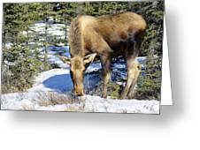 Moose Connection Greeting Card