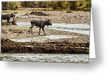 Moose Crossing River No. 1 - Grand Tetons Greeting Card