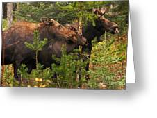 Moose Family At The Shredded Pine Greeting Card